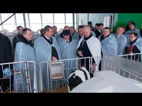 Лукашенко в Дзержинском районе посетил самый современный молочно-товарный комплекс