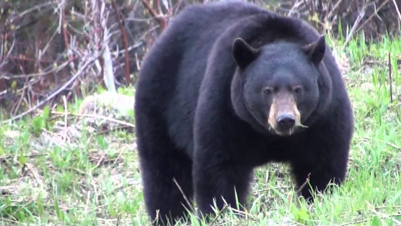 Huge Black Bear Youtube