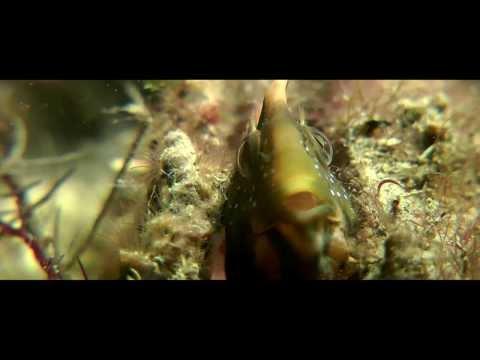 Piallasa Baiona. Video Realizzato durante un immersione alla Piallasa Baiona - Marina di Ravenna - Luglio 2013 By Gian Melchiori