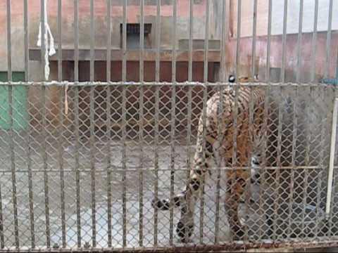 多摩動物公園アムールトラ_リングとシズカ吠える