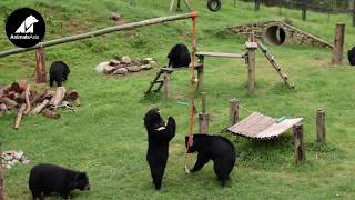 Cintron & Tieu Long get a new toy | Animals Asia