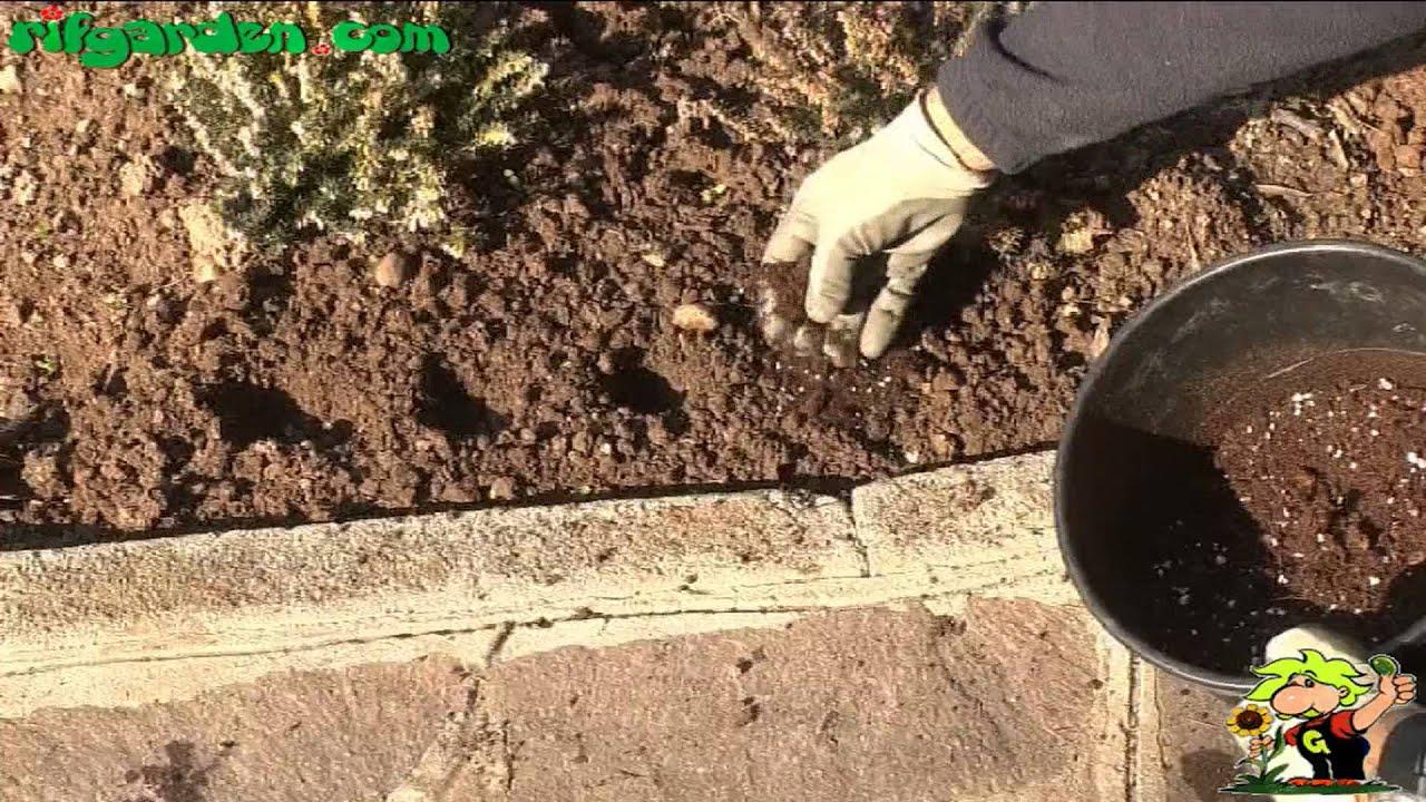 Анемона корончатая: проращивание, посадка и уход 22