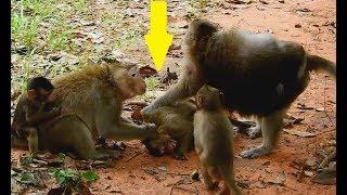 Oh ! So Pity Baby ! Small monkey got bitten hard by Tara & Jollerol  until cry seizure .