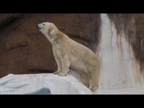 おもちゃで遊ぶシロクマ 天王寺動物園 Polar Bear GOGO-kun Tennoji Zoo in Japan