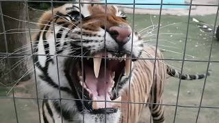 Earphone users ,hear the sound of this tiger!