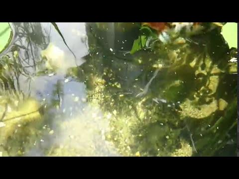 Estanque de goldfish y kois