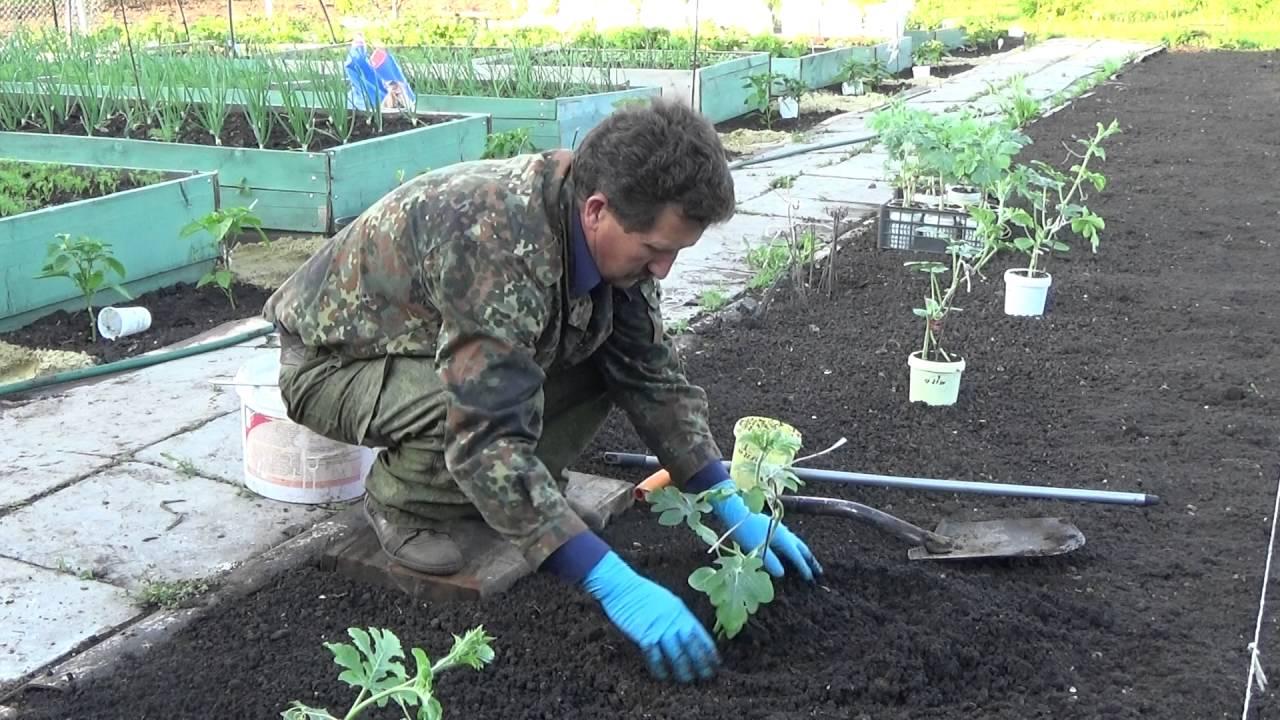 Арбуз выращивание открытым грунт 755