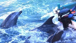 Japanese Dolphin Killing - Are We Hypocrites To Judge?