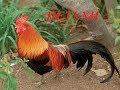 Голоса домашних птиц для детей Как поет петух mp3