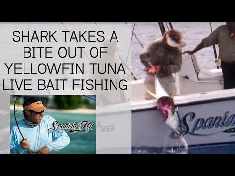 Shark Attacks Yellowfin Tuna while Live Bait Fishing - Jose Wejebe / Spanish Fly TV