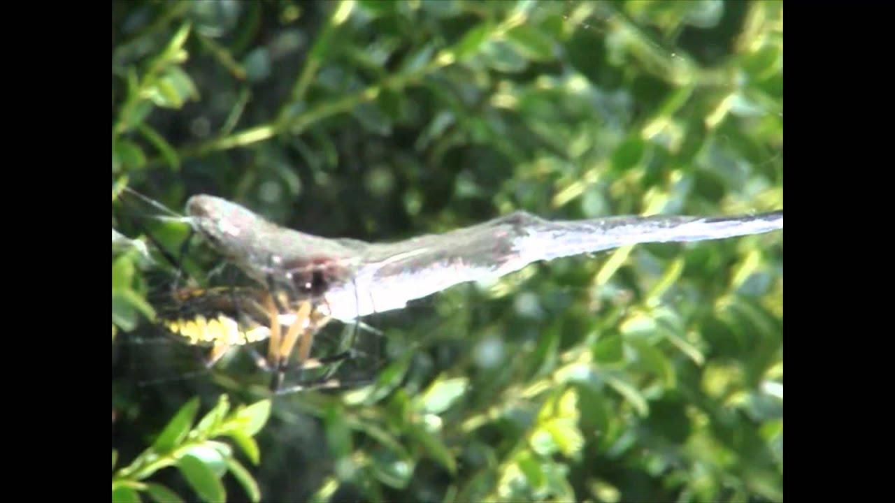 Lizards Eat Spiders Spider Eats Lizard Brutal