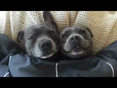 Staffymentary - Staffies/Bully Breeds Vicious or Not ?