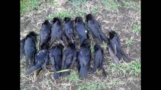 chasse au corbeaux  en multi caméra Avril 2017 acte 2