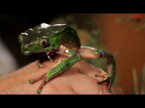 3 Care Tips for Waxy Monkey Frogs | Pet Reptiles