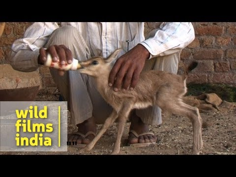 The Original Conservationists: Bishnois Of Rajasthan video