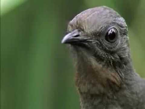 The Amazing Lyrebird of Australia - Unseen Footage