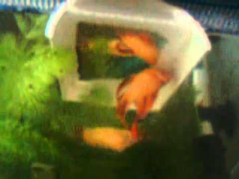 Betta fish mating youtube for Betta fish game