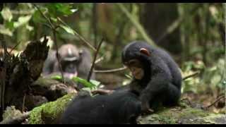 Chimpanzee - Chimpanzee Officiële Disney trailer | Disneynature | Nederlandse versie  met Carice van Houten