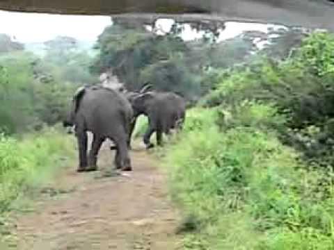 Hluhluwe Umfolozi Park, Zuid Afrika, spelende olifanten