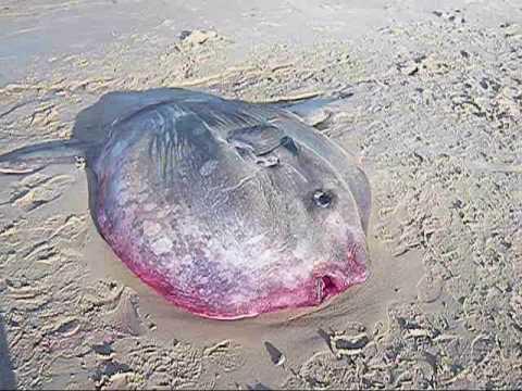 Sea sunfish