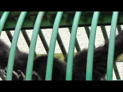 2011年7月24日 釧路市動物園 シロテテナガザル