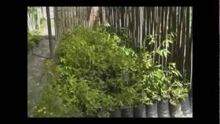 Jardin de Bambu - Guadua y otras plantas - version 1