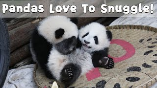 Baby Pandas Love To Snuggle! | iPanda
