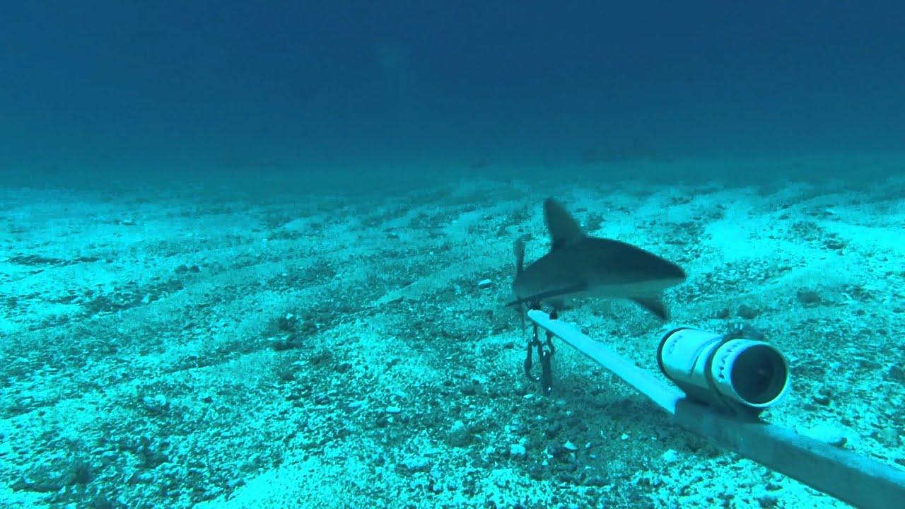 Shark Juvenile Juvenile Reef Shark Bruv