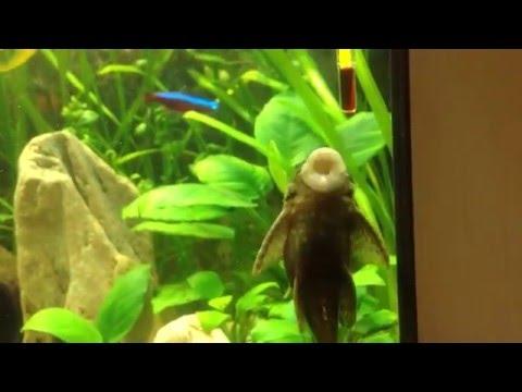 сом аквариум видео