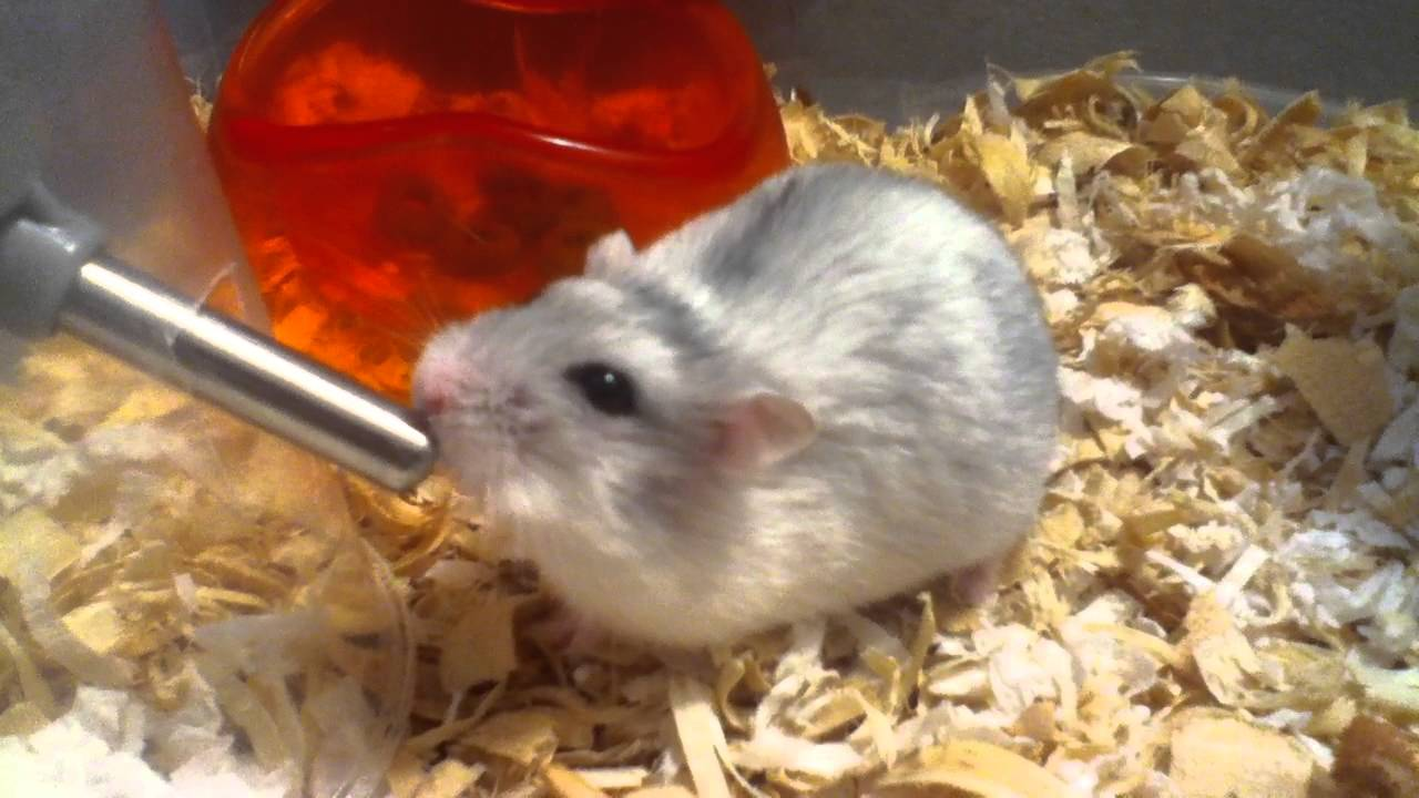 hamster drinking water - YouTube