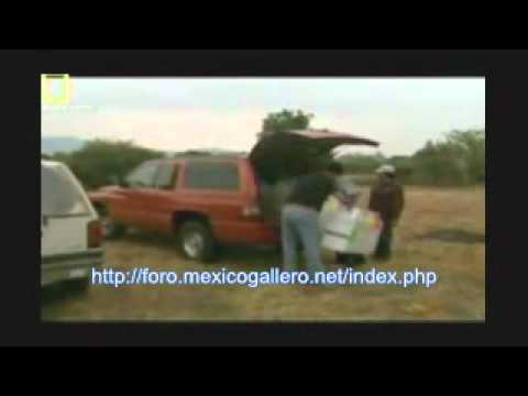 HABLANDO DE AVES DE COMBATE TABU LATINOAMERICA 1/2