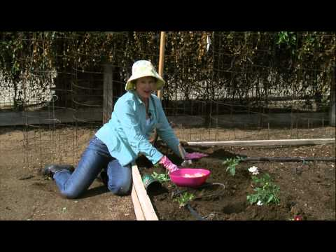 Gardening with Lucy - Tomato Planting