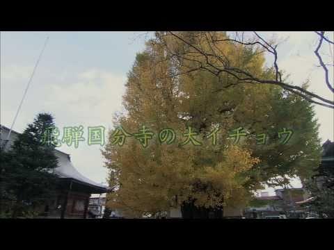 岐阜県の巨木・銘木07 飛騨国分寺の大イチョウ