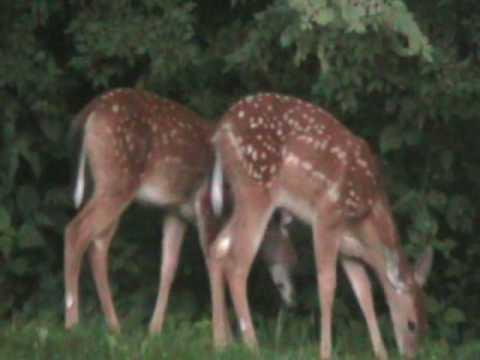 deer at Rentschler Forest Preserve, Butler County Ohio