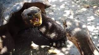 Tortoise fight.