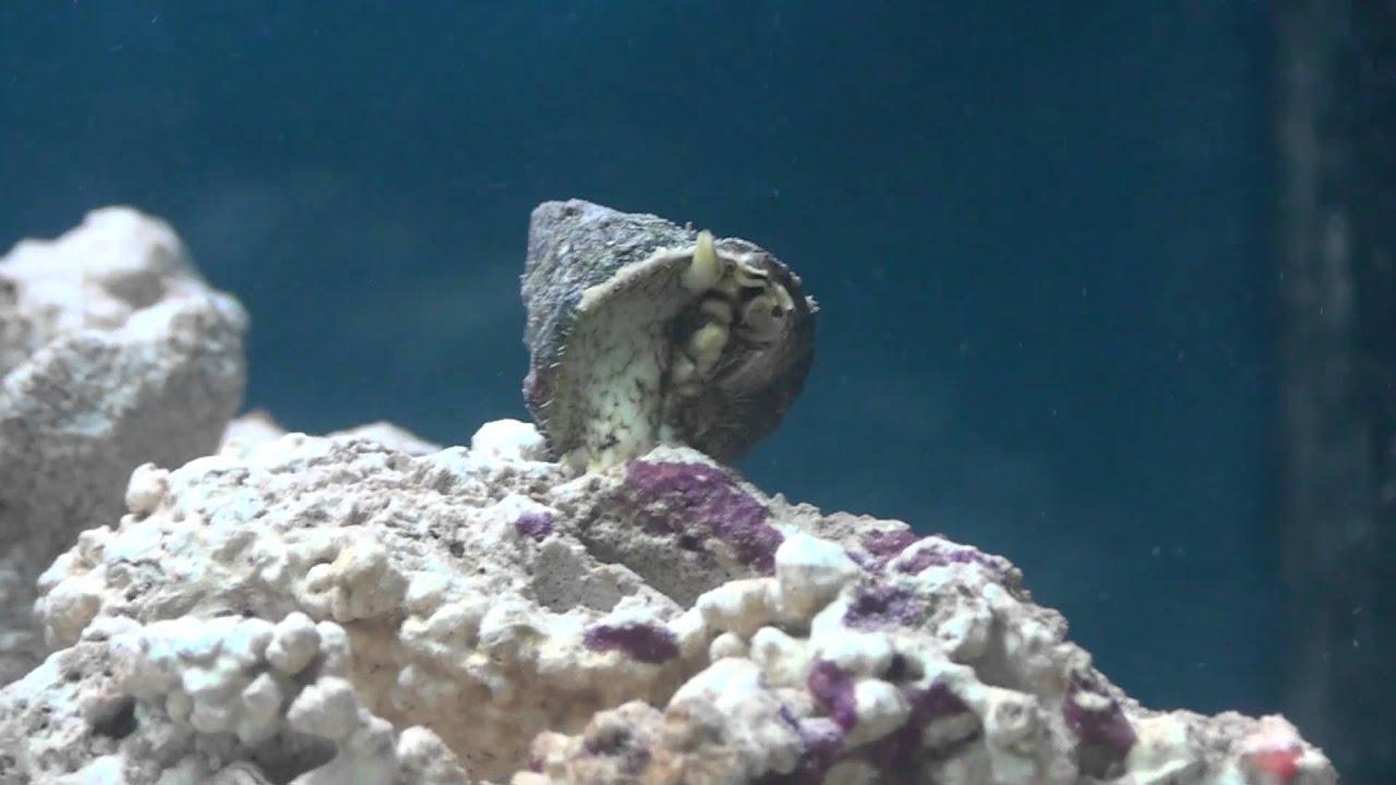 Marine aquarium snails