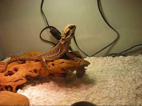Bearded Dragon Enclosure (Guide)