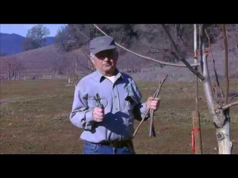 Budding, Grafting and Planting Walnut Trees - UCANR