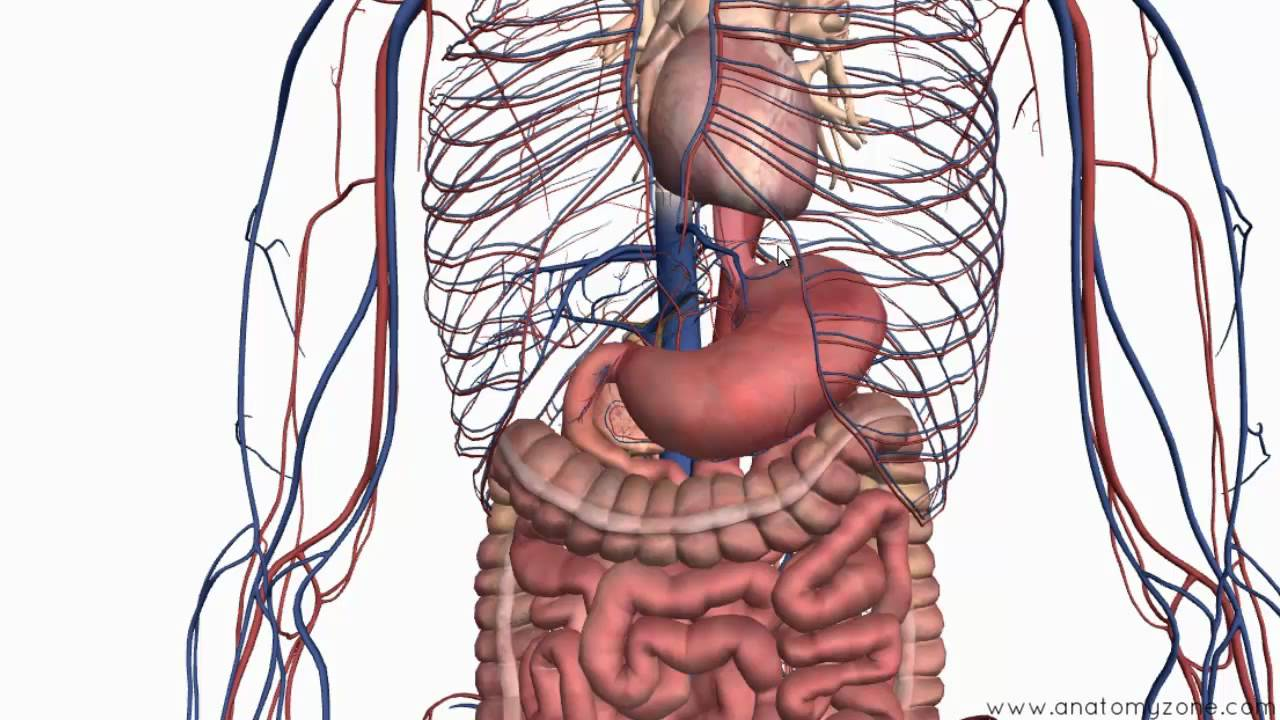 and Stomach - 3D Anatomy
