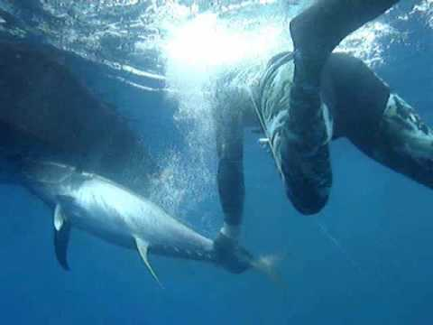 Spearfishing Freediving Yellowfin Tuna Puerto Rico,spearing trips Capt. Roberto 787-579-8150