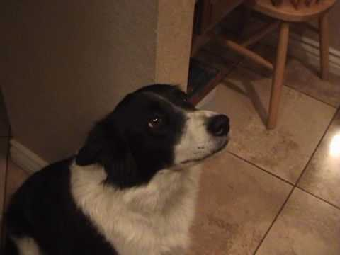 My talking border collie - learning to say