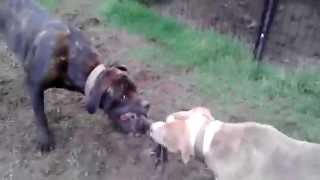 Bandog vs Pitbull