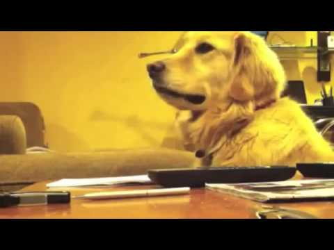 The Sounds Of The Guitar Make This Golden Retriever Dog Smile With Joy But When The Music Stops ...
