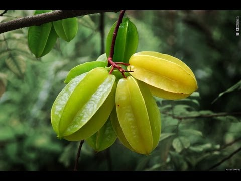 Star Fruit (Carambola) Tree