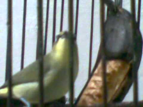 Pleci Full Gacor !  By. Setyo Budi -  Kediri.mp4 video