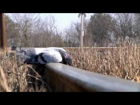 Dropping Pigeons   GAMO Air Rifle Hunting