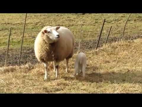 Pasgeboren lammetjes en een heleboel wilde ganzen. Video