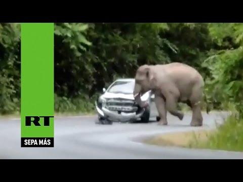 Elefante furioso aplasta vehiculo