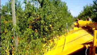 Peach mechanical harvesting in Spain - Raccolta meccanica percoche in Spagna 1