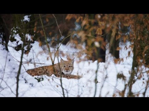 Romania - The Missing Lynx